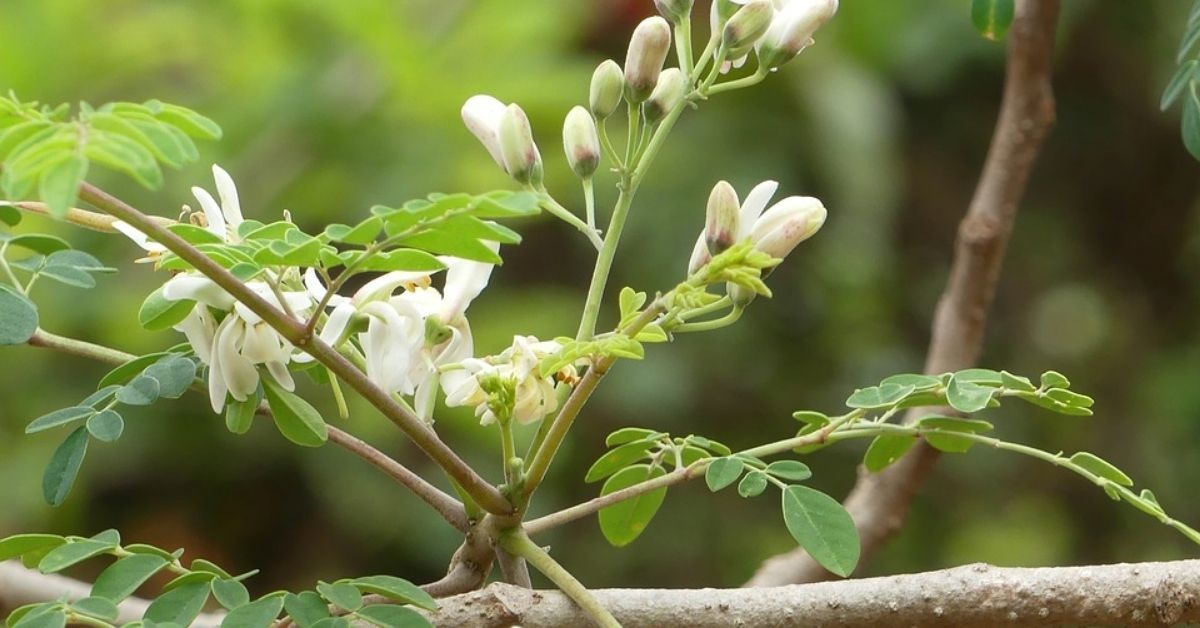 Top Amazing Health Benefits of Moringa